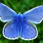 studded blue butterly